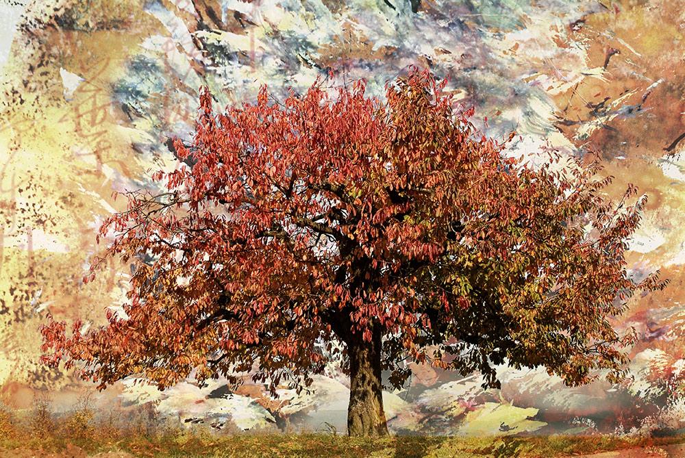 Kirschbaum bei Bullach